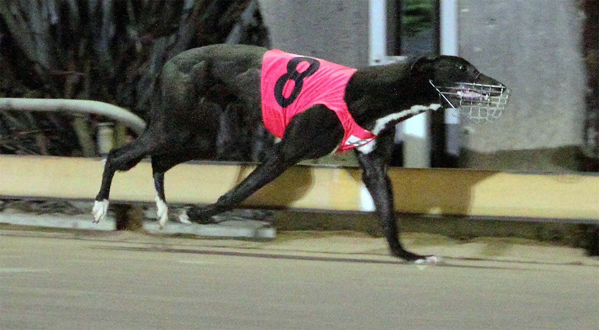 Noakis Girl Greyhound Syndicate Shares For Sale